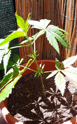small cannabis plant