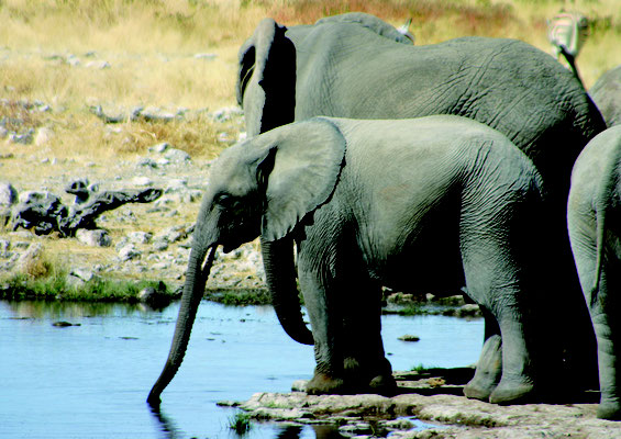Elefant an Wasserstelle Etosha Nationalpark