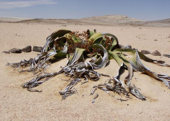 Welwitschia Mirabillis