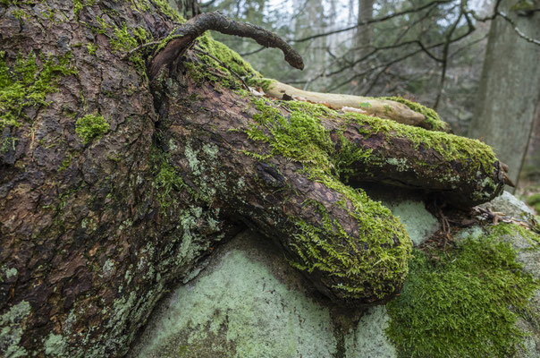 Wurzelklaue, Ilsetal, Harz. Kunstdruck auf AluDibond (Dirk Godlinski)