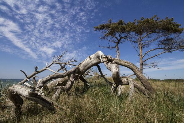 Windflüchter, Weststrand, Darß. Kunstdruck auf AluDibond (Dirk Godlinski)
