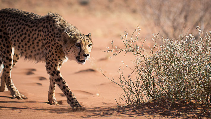 cheetah | farm kanaan | namib naukluft park | namibia 2015