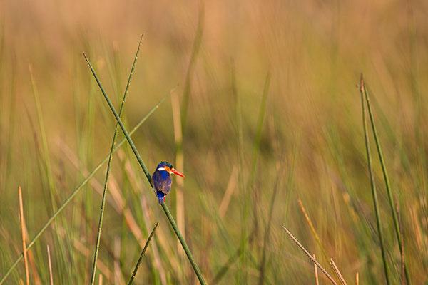 malachite kingfisher | okavango delta | botswana 2014