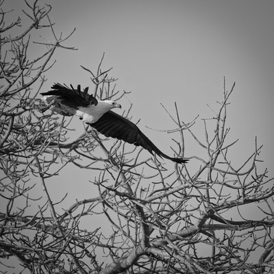 fish eagle | kapama game reserve | south africa 2016
