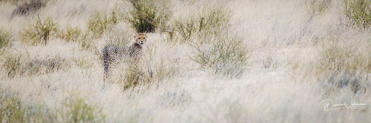 cheetah | kgalagadi transfrontier park | botswana 2018