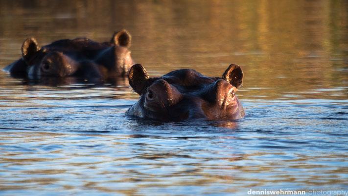 hippos | kwando caprivi strip | namibia 2014
