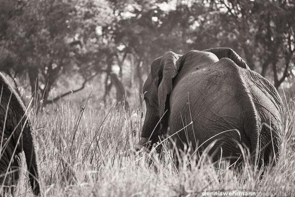elephant | okavango delta | botswana 2014