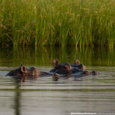 hippo pools | okavango delta | botswana 2014