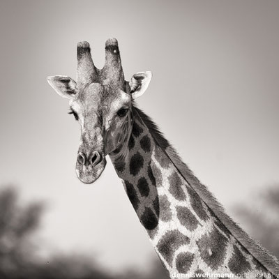 griaffe | chobe riverfront | botswana 2014