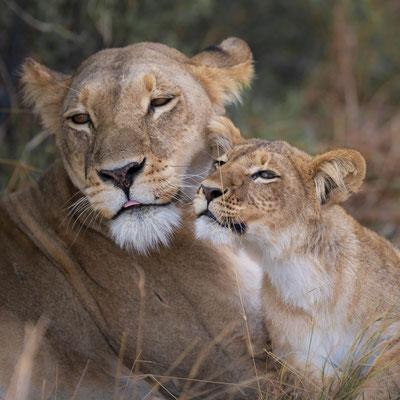 lion | khwai concession moremi game reserve | botswana 2017