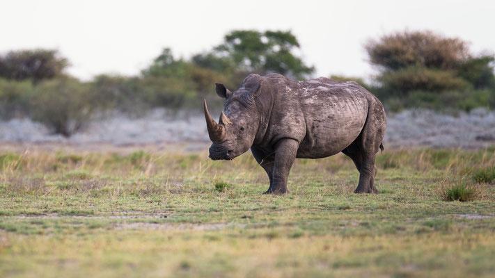 rhino | somewhere in the kalahari | botswana 2017