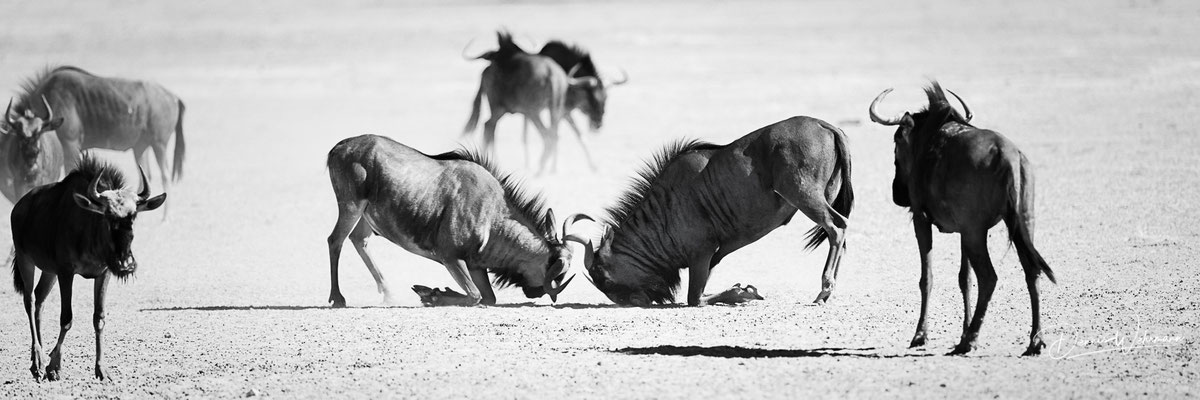 gnu | kgalagadi transfrontier park | botswana 2018