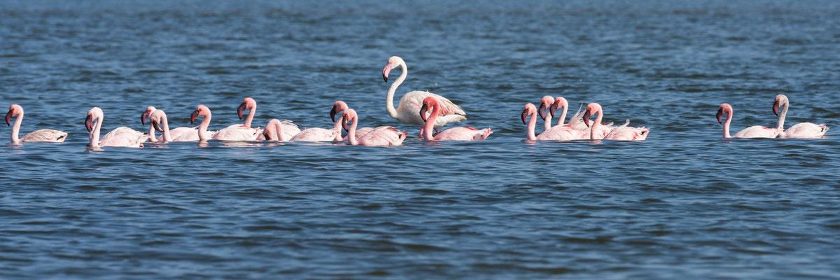 flamingo | walvis bay | namibia 2015