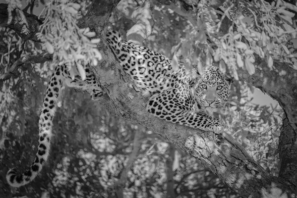 leopard | chobe national park | botswana 2014