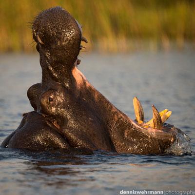 furious hippo | okavango delta | botswana 2014