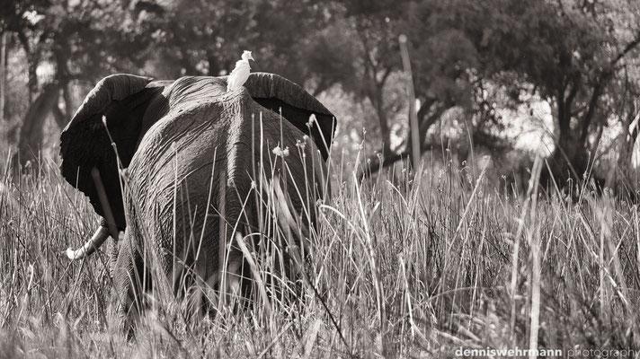 elephant | chief`s island okavango delta | botswana 2014
