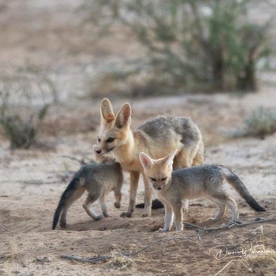fox | kgalagadi transfrontier park | botswana 2018