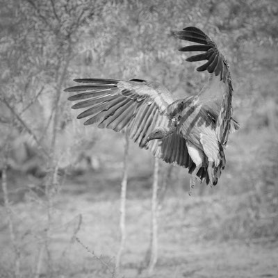 vulture | kapama game reserve | south africa 2016