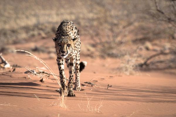 cheetah | namib naukluft park | namibia 2015