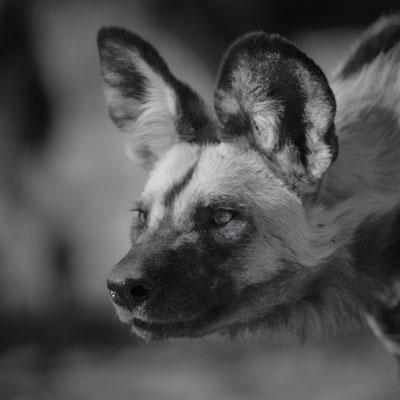 wild dog | central kalahari game reserve | botswana 2017