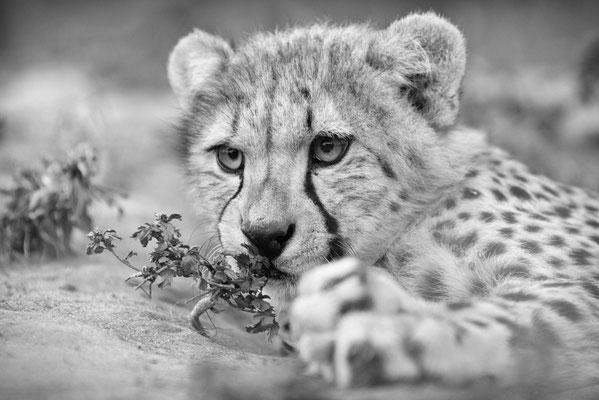 cheetah | cats of emdoneni | hluhluwe | south africa 2016