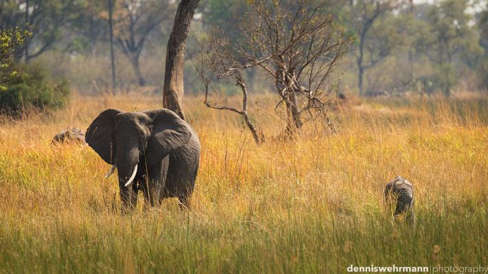 elephant with cub | chief`s island okavango delta | botswana 2014