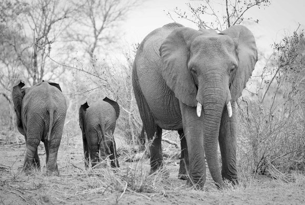 elephants krueger national park | south africa 2016