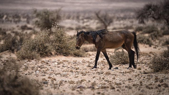 wild horse namibia | garup namib desert | namibia 2015