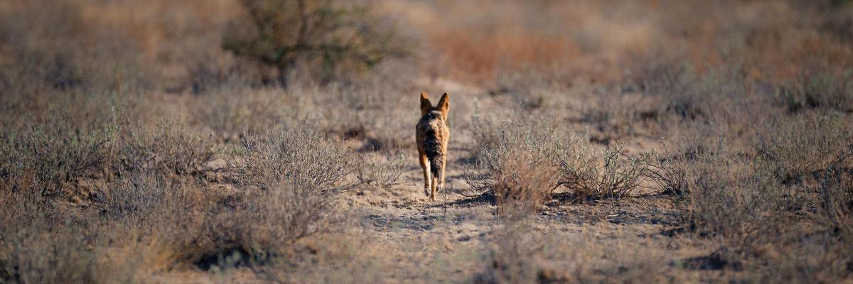 fox   central kalahari    botswana 2017