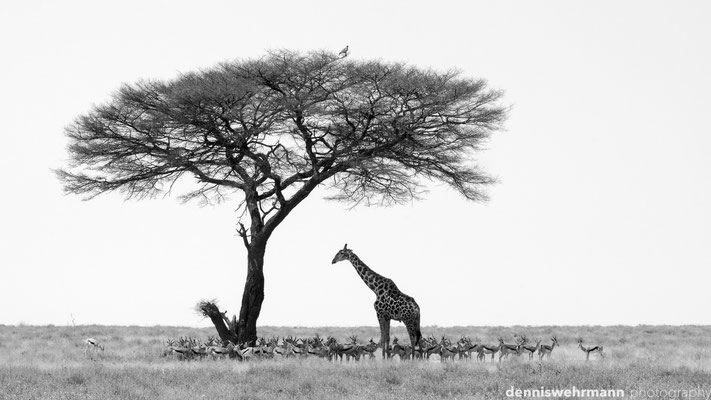 searching for shade | etosha national park | namibia 2012