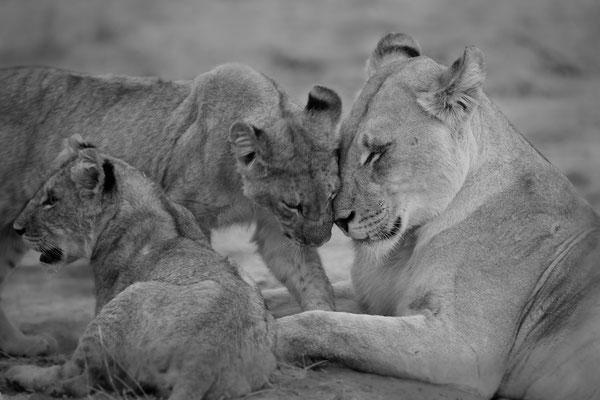 lions | khwai river botswana
