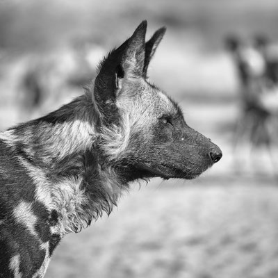 wild dog   central kalahari   botswana 2017
