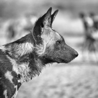 wild dog | central kalahari | botswana 2017