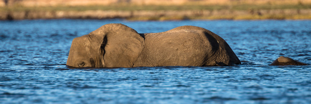 elephants | chobe riverfront | sedudu island | botswana 2014