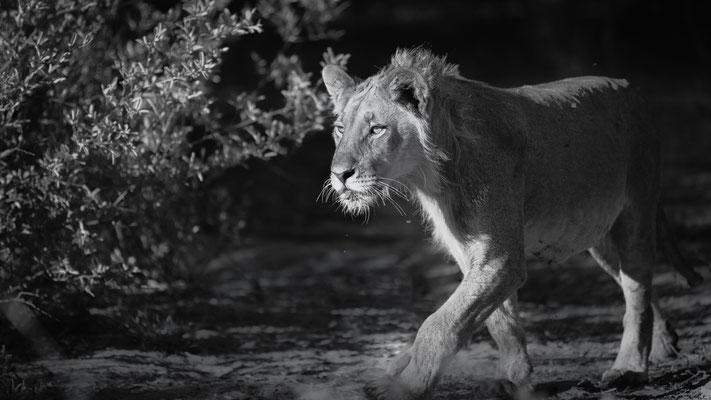 lion | central kalahari | botswana
