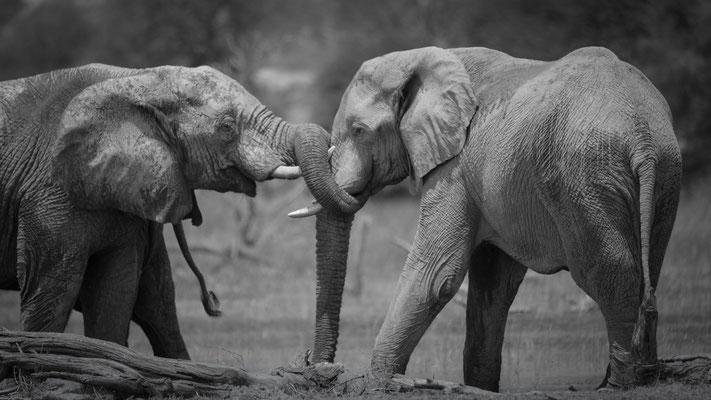 elephants | makgadikgadi | botswana