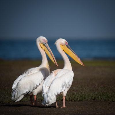 pelican | walvis bay | namibia 2015