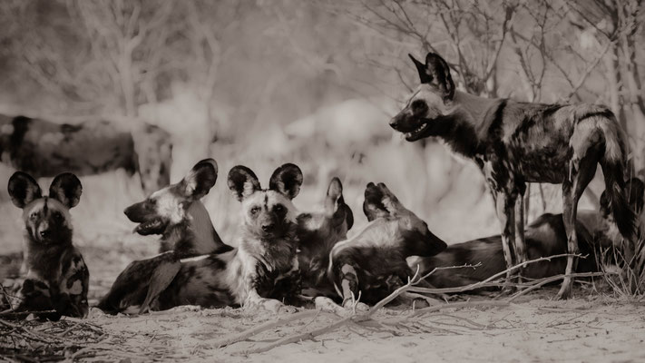 wilddogs | central kalahari game reserve | botswana