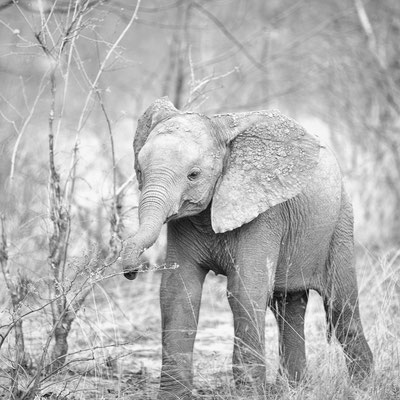 elephant baby   khwai concession   botswana 2017