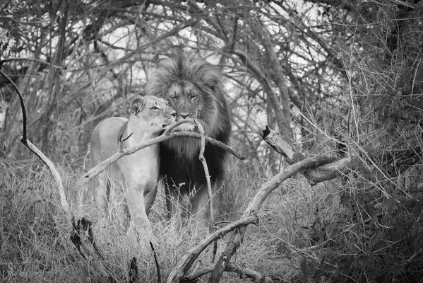 lions love | karongwe game reserve | south africa 2016