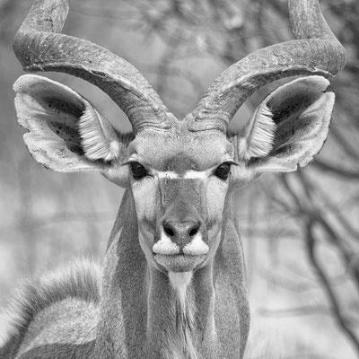 kudu antilope   central kalahari   botswana 2017