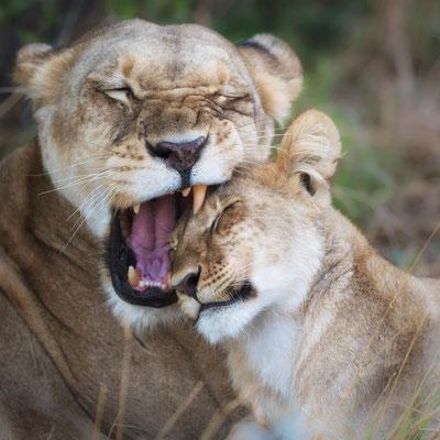 lion   khwai concession moremi game reserve   botswana 2017