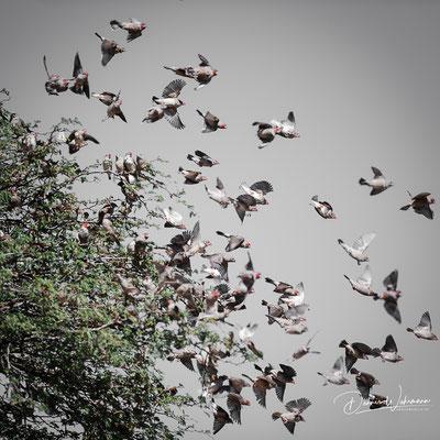 finch | kgalagadi transfrontier park | botswana 2018