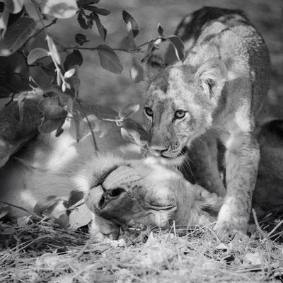 lion | khwai concession | botswana
