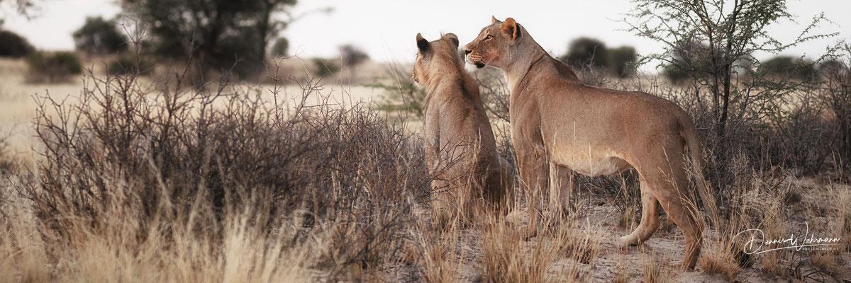 lion | kgalagadi transfrontier park | botswana 2018