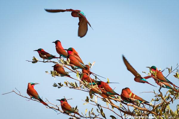 southern carmine bee-eaters | zambesi caprivi strip | namibia 2014