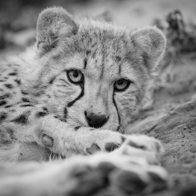 cheetah | cats of emdoneni | hluhluwe | south africa 2016