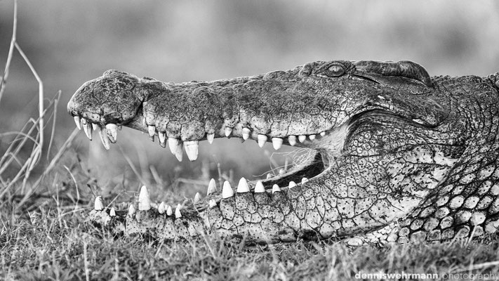 crocodile  | chobe riverfront sedudu island | botswana 2014