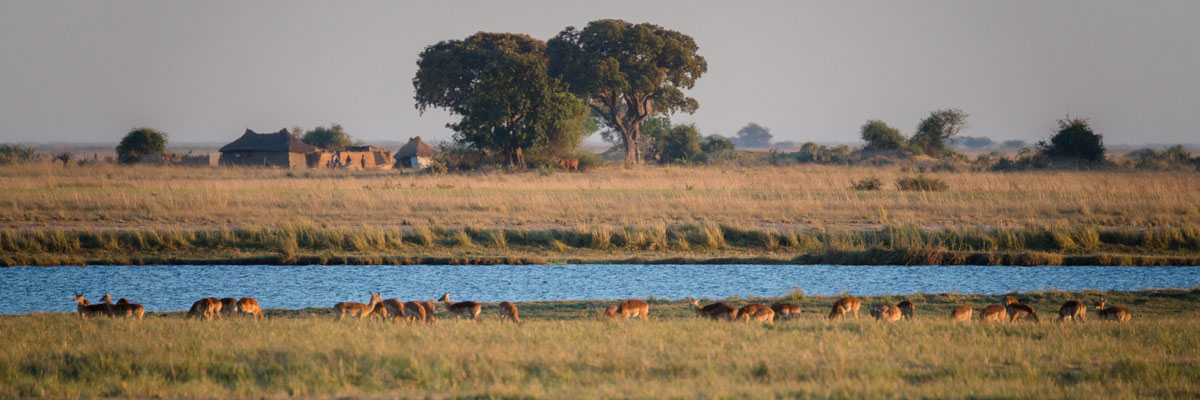 lechwe antilopes | chobe national park | botswana 2014