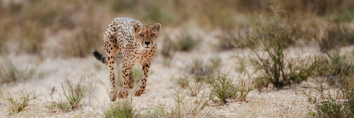 cheetah hunt | kgalagadi transfrontier park | botswana 2018